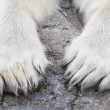Paws of the Polar Bear (Ursus maritimus) — Stock Photo #51548203