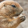 Black Tailed Prairie Dog (Cynomys ludovicianus) — Stock Photo #51548211