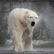 Polar Bear (Ursus maritimus) — Stock Photo #51548267
