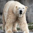 Polar Bear (Ursus maritimus) — Stock Photo #51548271