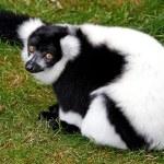 Black and White Ruffed Lemur (Varecia variegata) — Stock Photo #51548323