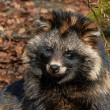 Raccoon dog (Nyctereutes procyonoides) — Stock Photo #51548411