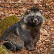 Raccoon dog (Nyctereutes procyonoides) — Stock Photo