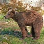 Brown Bear (Ursus arctos) — Stock Photo #51548603