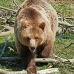 Brown Bear (Ursus arctos) — Stock Photo #51548673