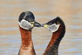 Red Necked Grebe (Podiceps grisegena) — Stock Photo