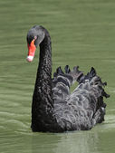 Black Swan (Cygnus atratus) — Photo