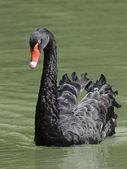 černá labuť (cygnus atratus) — Stock fotografie