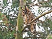 Long Eared Owl (Asio otus) — Stock Photo