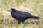 Rook (Corvus frugilegus) — Stock Photo