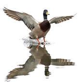 Wild Duck (Anas platyrhynchos) — Stock Photo