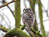 Northern Hawk Owl (Surnia ulula) — 图库照片
