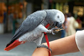 Domesticated Congo African Grey Parrot — Stock Photo