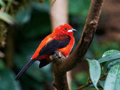 Brazilian Tanager (Ramphocelus bresilius) — Stock Photo