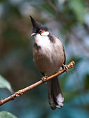 Red whiskered Bulbul (Pycnonotus jocosus) — Stock Photo