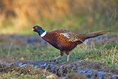 Common Pheasant (Phasianus colchicus) — Stock Photo