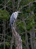 Grey Heron (Ardea cinerea) — Stock Photo