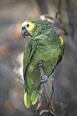 Blue-fronted Amazon (Amazona aestiva) — Stock Photo