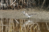 Wood Sandpiper (Tringa glareola) — Stock Photo