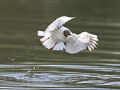 Black headed Gull (Chroicocephalus ridibundus) — Stock Photo