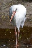 White Stork (Ciconia ciconia) — Stock Photo