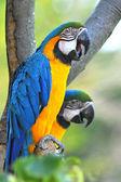 Blue and Yellow Macaw (Ara ararauna) — Stock Photo