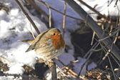 European Robin (Erithacus rubecula) — Stock Photo