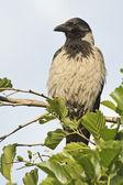 Hooded Crow (Corvus cornix) — Stock Photo