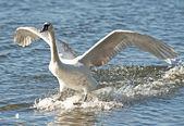 немой лебедь (cygnus цвет) — Стоковое фото