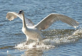 Mute Swan (Cygnus olor) — Photo