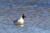Black headed Gull (Chroicocephalus ridibundus) — Stock Photo