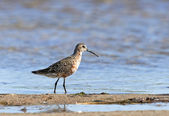 Curlew Sandpiper (Calidris ferruginea) — Stock Photo