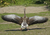 Greylag Goose (Anser anser) — Stock Photo