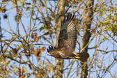 Common buzzard (Buteo buteo) — Stock Photo