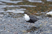 White throated Dipper (Cinclus cinclus) — Stock Photo