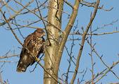 Common buzzard (Buteo buteo) — Stock Photo