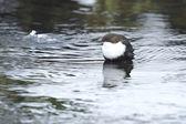White throated Dipper (Cinclus cinclus) — Stock Photo