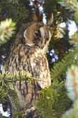Long Eared Owl (Asio otus) — Stock Photo