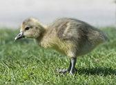 Greylag Goose (Anser anser) — Stock Photo