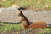 Eurasian red squirrel (Sciurus vulgaris) — Stock Photo