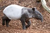 Malayan tapir (Tapirus indicus) — Stockfoto