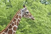 Zürafa (zürafa zürafa) — Stok fotoğraf