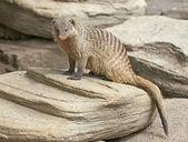 Banded mongoose (Mungos mungo) — Stock Photo