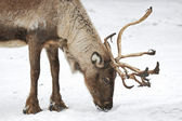 Reindeer (Rangifer tarandus) — Stock Photo