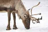 Reindeer (Rangifer tarandus) — Stock Photo