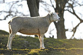 Domestic Sheep (Ovis aries) — Foto Stock