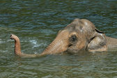 Asiatic elephant (Elephas maximus) — Stock Photo