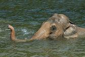 Asiatic elephant (Elephas maximus) — Stock Photo