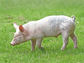 Domestic ecological pig (sus domesticus) — Photo