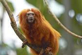Lion Tamarin (Leontopithecus sp) — Stock Photo